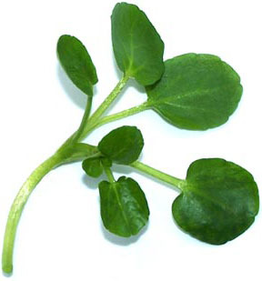 Watercress - picture no. 1