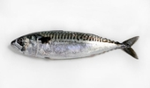 Mackerel - picture no. 1