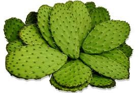 Prickly pear cactus - picture no. 1