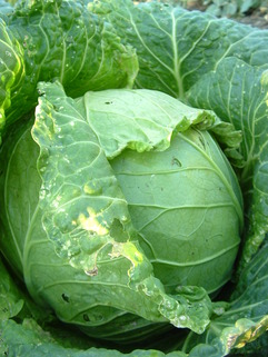 Cabbage - picture no. 1