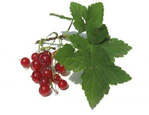 Currant - picture no. 1