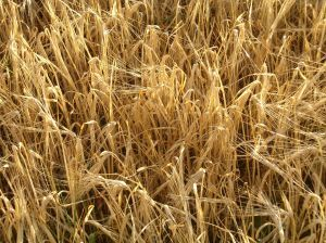 Oat - picture no. 1