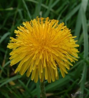 Dandelion - picture no. 1